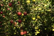 رایزنی برای توسعه صادرات سیب از طریق اتحادیههای بینالمللی