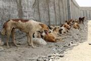 روش وزارت بهداشت برای کنترل جمعیت سگهای ولگرد | غذا دادن به سگها اشتباه است؟