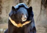 آشنایی با خرس سیاه آسیایی (بلوچی) - سیستان و بلوچستان