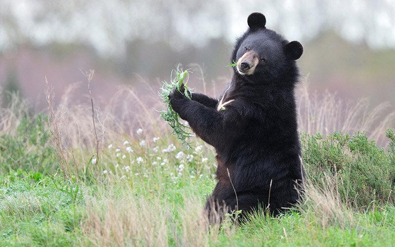 خرس سیاه بلوچی