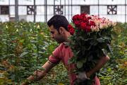 درآمد ۴۷ میلیاردی کشاورزان خراسان جنوبی از تولید گل رز