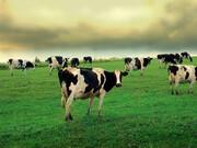 کشف عجیب؛ گاوها با یکدیگر در مورد چه چیز صحبت میکنند؟