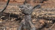 استرالیا | حیوانات گرفتار آتش به روایت تصویر