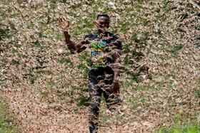 عکس روز| حمله ملخها