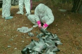 جمعآوری حدود ۲۰۰۰ لاشه پرنده مهاجر در مازندران | هشدار به مردم