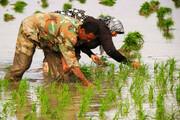 انتقاد از محدودیت کشت برنج در خراسان شمالی