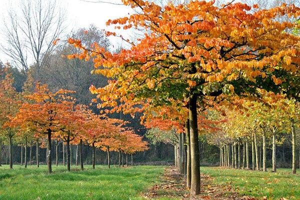 انجیلی یا درخت آهن