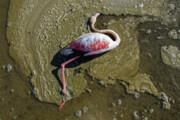 مسمومیت پرندگان در میانکاله مازندران تایید نشد