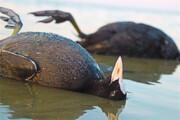 میانکاله؛ شکار ممنوع | به لاشه پرندگان نزدیک نشوید