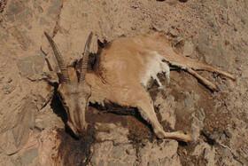 هشدار نسبت به شیوع طاعون نشخوارکنندگان در خراسان جنوبی