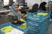 صادرات ۵۲۹ هزار تن محصول کشاورزی از کردستان