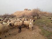 چرای گوسفندها در بنای دوره ساسانی