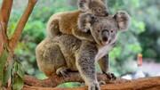 عکس یادگاری وزیر محیط زیست استرالیا با کوالای نجاتیافته