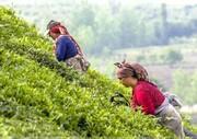 دنیای عطر بهارنارنج و چای بهاره