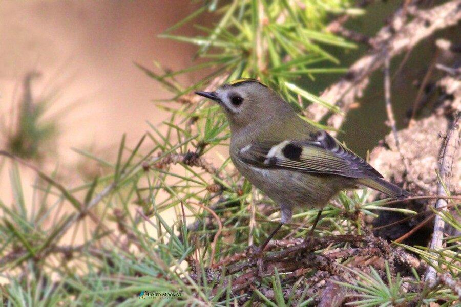 سسک تاج طلایی، پرنده زمستان گذران و کوچکترین پرنده ایران