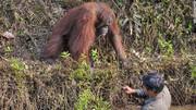 عکس | دست یاری اورانگوتان برای محیطبانی که در رودخانه پر از مار گیر افتاده بود