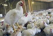 واکنش مرغداران به خبر خوراندن تریاک به مرغها
