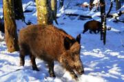 سردی هوای اردبیل حیاتوحش را به سکونتگاه انسانی کشاند