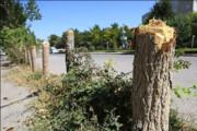 پرونده متخلفان قطع درخت در دوگنبدان تشکیل شد