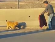 فیلم | ماجرای توله شیر سرگردان در اتوبان تهران - قزوین چه بود؟