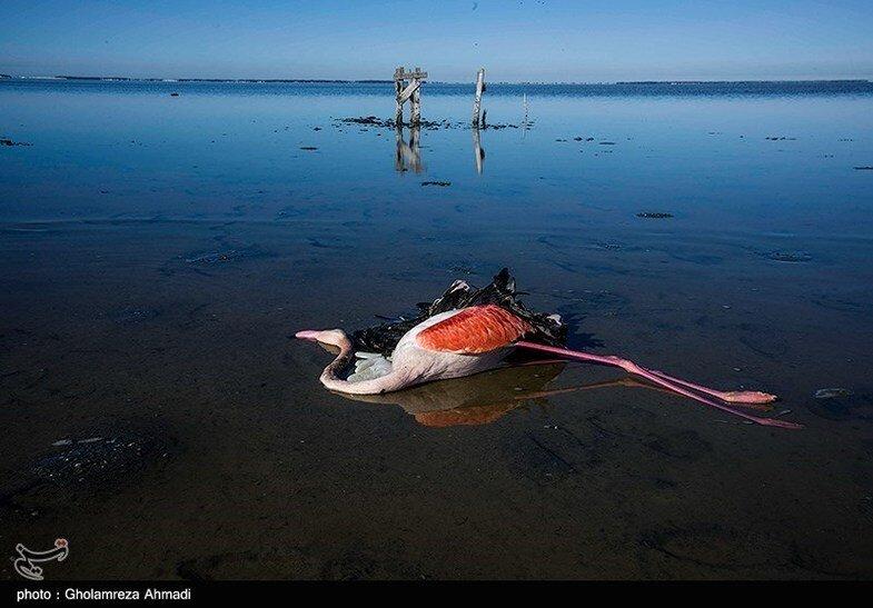 کهرم: علت مرگ پرندگان میانکاله را لاپوشانی کردهاند؛ شیوه دفن هم فاجعه بود | ۱۷ هزار پرنده در یک ماه مُردند