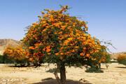 تصویر | جنوب کرمان و درختانی از توران و عمان