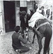 تیمار اسبهای سلطنتی در خیابان دامپزشکی