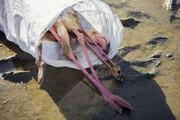 مرگ پرندگان مهاجر از میانکاله تا شرق خلیج گرگان