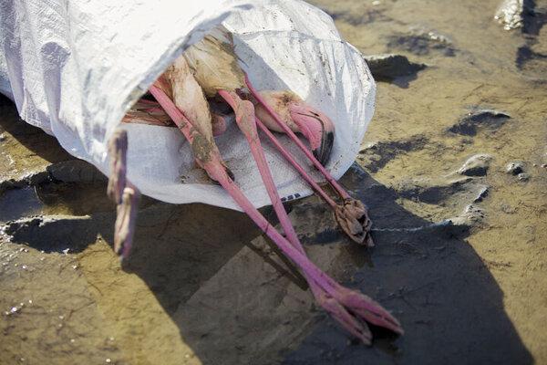 مرگ پرندگان مهاجر