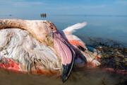 نقش تغییر اکوسیستم آبی و خاکی تالاب میانکاله در مرگومیر پرندگان مهاجر
