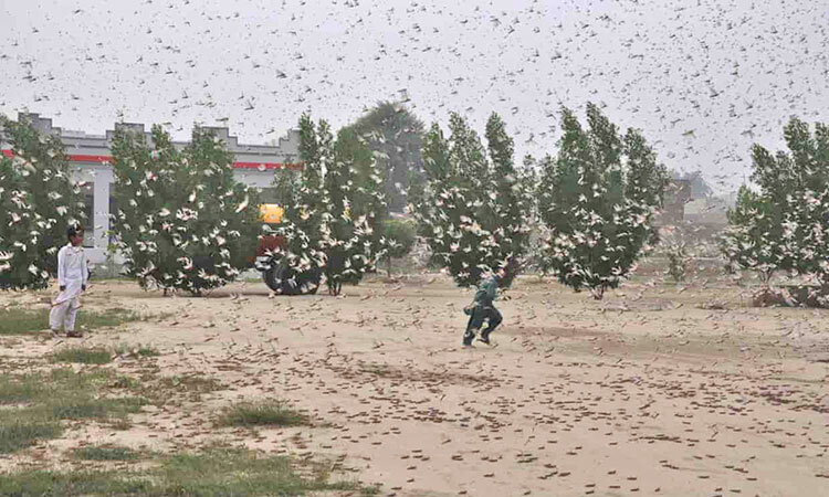 اعزام ۱۰۰ هزار اردک چینی برای مبارزه با ملخها؟ | طرحی که وتو شد