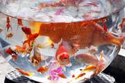 با خیال راحت ماهی قرمز سفره هفتسین بخرید | واردات از چین صحت ندارد