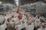 مرگ ۱۰ هزار مرغ به دلیل قطعی برق