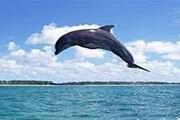 بوشهر پذیرای دلفینهای گوژپشت شد