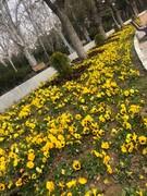 لاله به استقبال بهار می رود