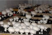 تهران، بزرگترین تولیدکننده قارچ خوراکی در ایران