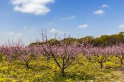 تصویر   شکوفههای بهاری گلستان