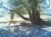 یوزپلنگ آسیایی در نایبندان طبس مشاهده شد