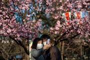 عکس روز | شکوفههای گیلاس با ماسک