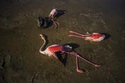 تلف شدن ۱۱ هزار پرنده مهاجر از ۲۲ گونه فقط در یک تالاب ایران