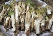احتمال خطر انقراض ریشههای بهاری گیاهان خوراکی