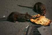 مراقب موشها در روزهای کرونایی باشید