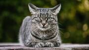 گزارش نخستین مورد انتقال کرونا از انسان به گربه از بلژیک
