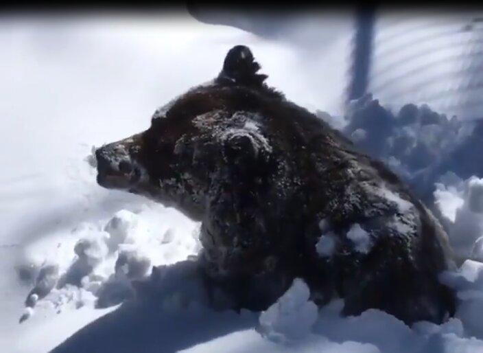 خرس گریزلی خوای زمستانی