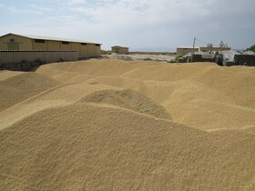 ورود ۶۹ هزار تن گندم به کشور از راه تخلیه مستقیم کشتی به قطار