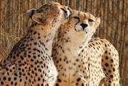 فیلم | لحظه رهاسازی ماده یوزپلنگ ایرانی در توران