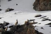 فیلم | لحظات زیبا از حیاتوحش در منطقه شکار ممنوع سوادکوه