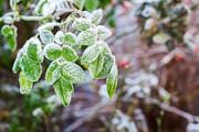سرمازدگی دیررس بهاره در کمین باغهای آذربایجان غربی