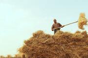 پیشبینی برداشت ۸۰۰ هزار تن گندم از مزارع آذربایجانشرقی