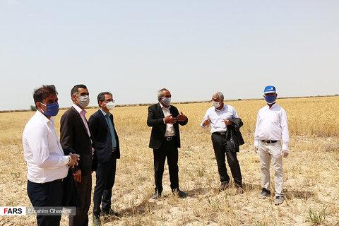 آغاز برداشت گندم از مزارع استان بوشهر